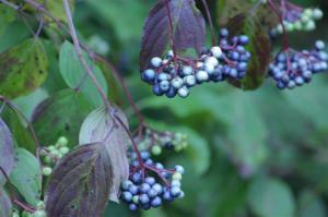 Elderberry – Sambucus nigra