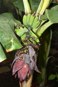 Banana Flower with small hand of bananas above