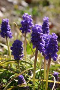 Grape/Starch Hyacinth