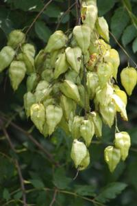 Golden Rain Tree unripe seedpods