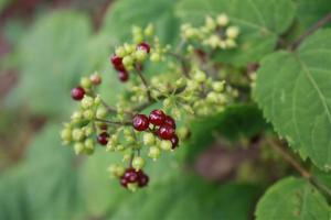 American Spikenard edible berries beginning to ripen