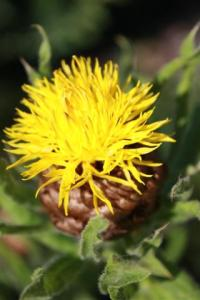 Yellow Knapweed