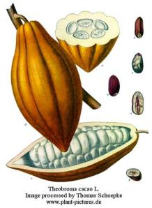 Cacao seedpod with seeds